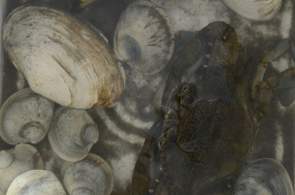 The catch from our July 23rd Clamming Class--A notata clam with alba clams, and a crab for good measure.